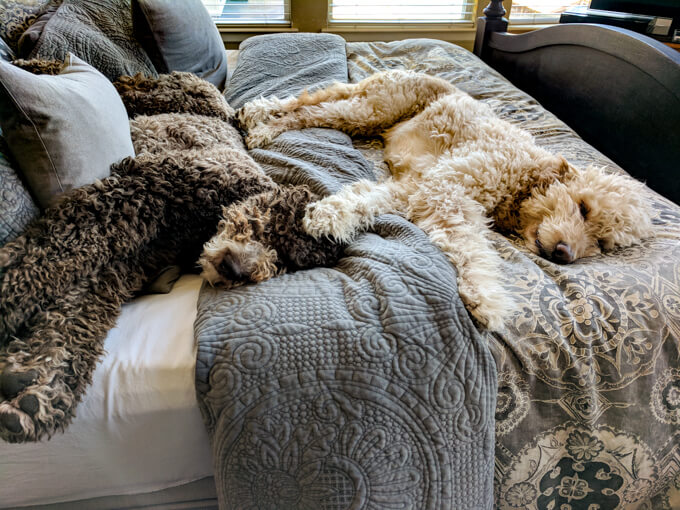 Two goldendoodle dogs lying on a bed together.