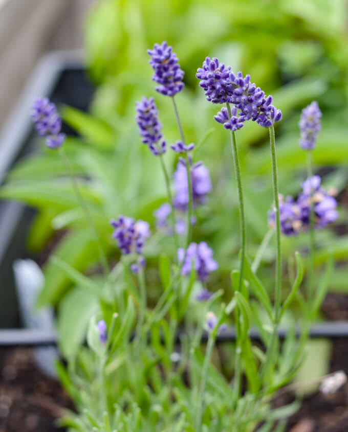 Lavender planted in a herb garden.